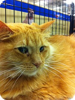 Maine Coon Cat for adoption in Gainesville, Florida - Keesh