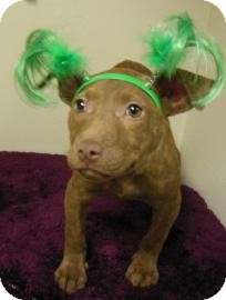 Pit Bull Terrier Mix Puppy for adoption in Gary, Indiana - Betty Lue