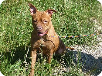 Shar Pei Mix Dog for adoption in Zanesville, Ohio - # 138-13 RESCUED!