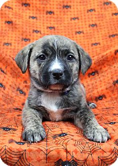 Catahoula Leopard Dog/Australian Shepherd Mix Puppy for adoption in Westminster, Colorado - Outta Here