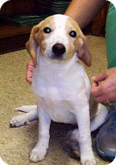 Beagle/Basset Hound Mix Puppy for adoption in Bedminster, New Jersey - SALLY