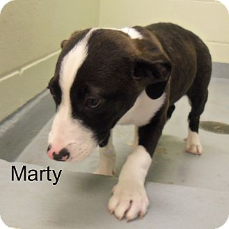 Collie/Catahoula Leopard Dog Mix Puppy for adoption in Slidell, Louisiana - Marty