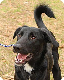 Labrador Retriever/Dalmatian Mix Dog for adoption in Groton, Massachusetts - Curley