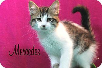 Domestic Mediumhair Kitten for adoption in Wichita Falls, Texas - Mercedes