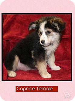 Shepherd (Unknown Type) Mix Puppy for adoption in Spring Valley, New York - Caprice (Pom-Erin)