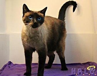 Siamese Cat for adoption in Sebastian, Florida - Sushi