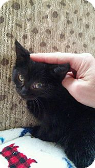 Domestic Shorthair Kitten for adoption in Sterling Heights, Michigan - Sugar