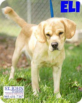Cocker Spaniel/Labrador Retriever Mix Dog for adoption in Laplace, Louisiana - Eli
