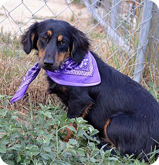 Dachshund/Spaniel (Unknown Type) Mix Puppy for adoption in Westport, Connecticut - Fiona
