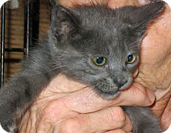 Russian Blue Kitten for adoption in Jacksonville, Florida - Whiskers