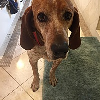 Hound (Unknown Type) Mix Dog for adoption in Beverly Hills, California - Buddy
