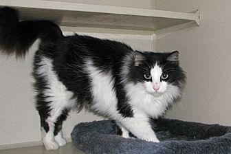 Domestic Longhair Cat for adoption in Ruidoso, New Mexico - Zory