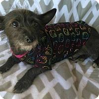 Adopt A Pet :: Sky - Lawrenceville, GA