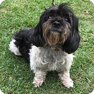 shih tzu mix rescue los angeles ca shih tzu mix meet kashi a dog for adoption 856