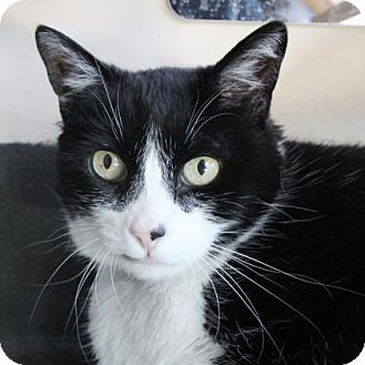 Domestic Shorthair Cat for adoption in San Francisco, California - Tiramisu