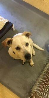 Labrador Retriever Mix Dog for adoption in Dothan, Alabama - Rosie