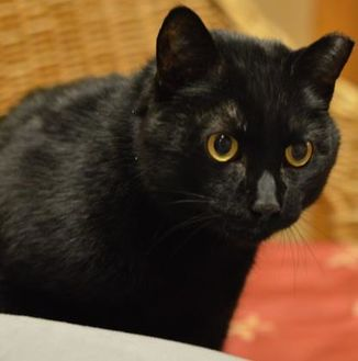 Domestic Shorthair/Domestic Shorthair Mix Cat for adoption in Madison, Wisconsin - Priss