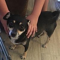Adopt A Pet :: Sadie - Mesa, AZ