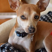 Adopt A Pet :: Chico Mc Dreamy - Seattle, WA