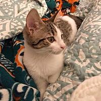 Adopt A Pet :: Donut Sprinkles - Huntsville, AL