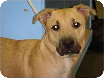 Labrador Retriever/Shepherd (Unknown Type) Mix Dog for adoption in Long Beach, New York - Dexter