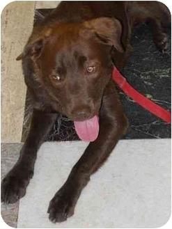 Labrador Retriever Mix Dog for adoption in San Diego, California - GIANNI