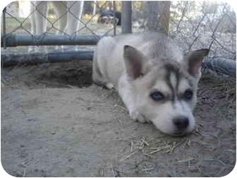 Husky Mix Puppy for adoption in Jacksonville, North Carolina - Tupit