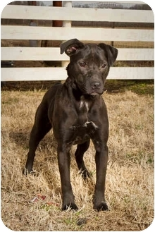 Labrador Retriever/Boxer Mix Dog for adoption in White Plains, New York - Millie