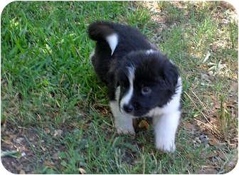 Border Collie/Australian Shepherd Mix Puppy for adoption in Austin, Texas - Jack