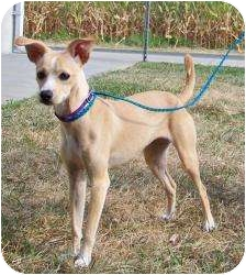 Italian Greyhound Mix Dog for adoption in all of, Connecticut - Cinder