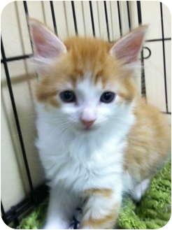 Domestic Mediumhair Kitten for adoption in Audubon, New Jersey - Hansel