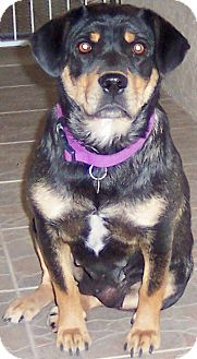 Rottweiler Mix Dog for adoption in Gilbert, Arizona - Lucy Lou