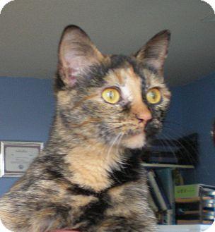 Domestic Shorthair Cat for adoption in Murphysboro, Illinois - Toffee