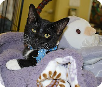 Domestic Shorthair Kitten for adoption in White Settlement, Texas - Chad's Boots-adopt pending