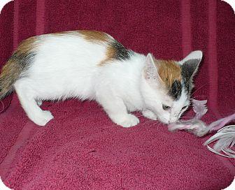 Domestic Shorthair Kitten for adoption in Pueblo West, Colorado - Caledonia