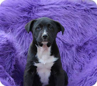 Labrador Retriever Mix Puppy for adoption in Stafford Springs, Connecticut - Marlon