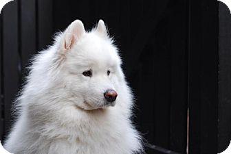 Samoyed Dog for adoption in Chilliwack, British Columbia - Romeo