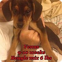 Adopt A Pet :: Venus - Staunton, VA