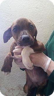 Doberman Pinscher/American Bulldog Mix Puppy for adoption in Divide, Colorado - Merry
