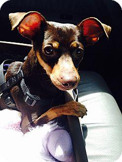 Miniature Pinscher Dog for adoption in Denver, Colorado - Briar