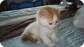 Domestic Mediumhair Kitten for adoption in Fairborn, Ohio - Claudia