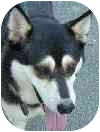 Husky Mix Dog for adoption in Eatontown, New Jersey - Molly