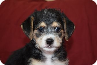 Cavalier King Charles Spaniel/Silky Terrier Mix Puppy for adoption in KITTERY, Maine - FINN