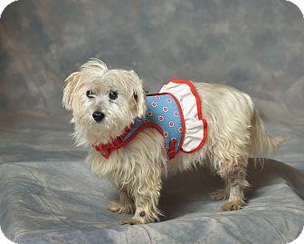 Cairn Terrier Dog for adoption in Aqua Dulce, California - Tessie