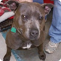 Adopt A Pet :: Astra - Franklin, NH