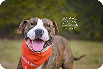 Shar Pei/Pit Bull Terrier Mix Dog for adoption in Fort Valley, Georgia - Arby