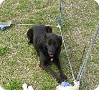 Labrador Retriever/Shepherd (Unknown Type) Mix Dog for adoption in Grand Saline, Texas - Raven