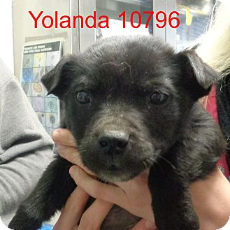 Australian Cattle Dog/Labrador Retriever Mix Puppy for adoption in Manassas, Virginia - Yolanda