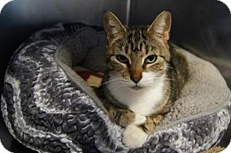Domestic Shorthair Cat for adoption in New Milford, Connecticut - Delilah