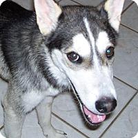 Siberian Husky Dog for adoption in Cedar Crest, New Mexico - Nelson